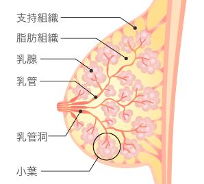 乳がん検診のエコーとマンモグラフィを受ける年齢