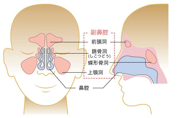 副鼻腔とは鼻の周りにある空洞のこと