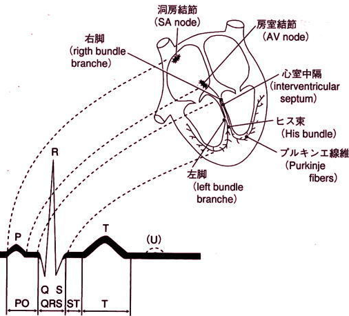 サイナスリズムの心電図波形の画像