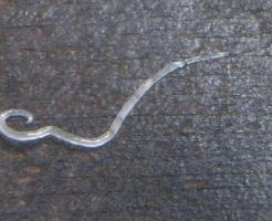 アニサキス幼虫