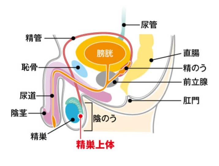 精巣上体を含む精巣の部位の断面