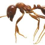 ヒアリと日本のアリの大きさや色を画像で比較!発見された場所を地図で紹介
