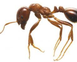 ヒアリと日本のアリの大きさや色を画像で比較